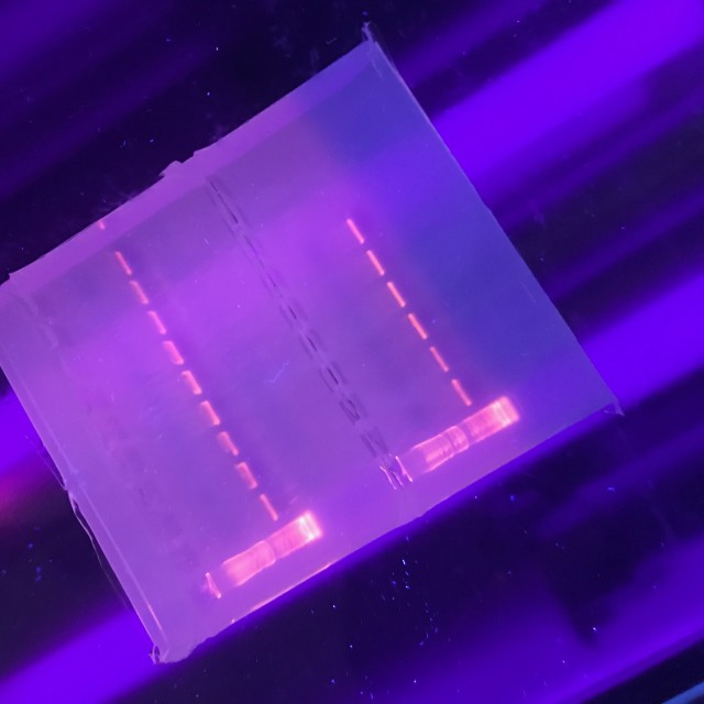 UV lit agarose gel fo DNA samples and ladder